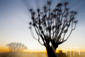 Quiver Tree at Sunset; Namibia